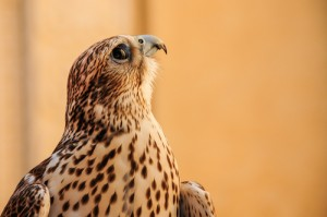 falcon, bird, fly, bird of prey, shutterstock_245294254