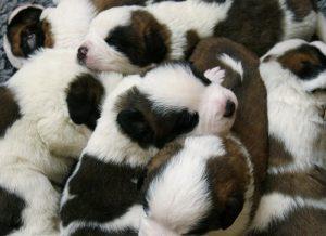 puppies, Saint Bernard, dog, dogs, cute