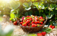Wish Farms chief operating officer JC Clinard told Agri Investorthat his company plans to keep it planted predominately in conventional and organic strawberries