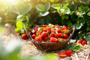 Wish Farms chief operating officer JC Clinard told Agri Investor that his company plans to keep it planted predominately in conventional and organic strawberries