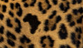 Africa Leopard fur