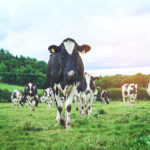 Dairy farm cattle