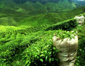Green tea plantation, South Asia