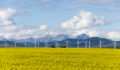 Canola field with wind turbines in background
