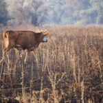 Cow in field after fire