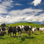 Cattle Farm in New Zealand