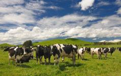 Cattle Farm in New Zealand