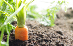 Carrot growing in soil