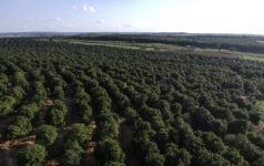 Macadamia plantation aerial shot