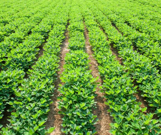 Peanut rowcrops in Australia