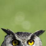 wise, owl, wisdom, smart