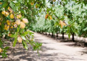 Almond nut trees in an orchard