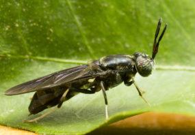 Black solider fly