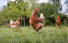 Free range chickens - Organic