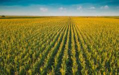 Corn field, aerial view, farmland