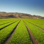 Celery farm in US, Caliafornia