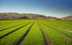 Celery farm in US, Caliafornia