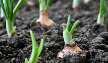 Sprouting onion, farming, growing