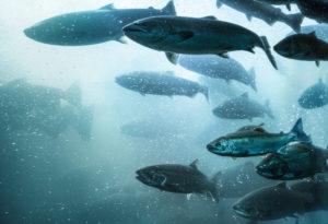Salmon School Underwater.