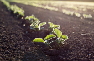 Soybean seedlings in farm