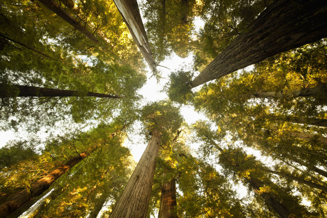 Timberland, forestry, Sequoia forest