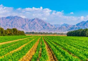 Row crop vegetables in Eilat, israel
