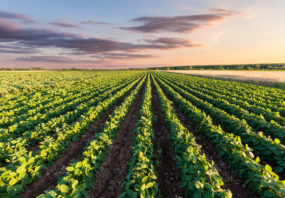 farm, row crops, soy