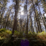 Forest, Pinus radiata, timber