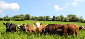 Cows grazing, farm
