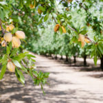 Almond nut trees in orchard, permanent crop