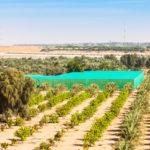 Desert Farm near Al Ain, Abu Dhabi, UAE