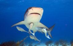 Tiger Shark and Remora Fish